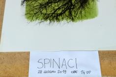 Antotipo di spinaci